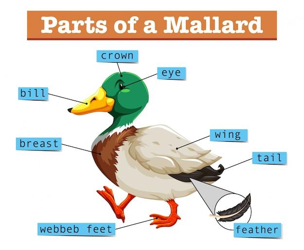 Different parts of mallard Free Vector