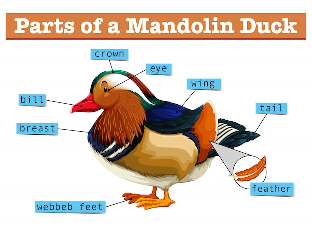 Different parts of mandolin duck Free Vector