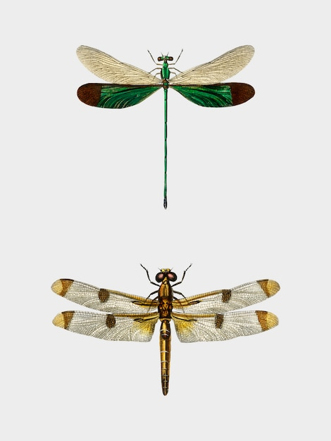 Different types of dragonflies illustrated by charles dessalines d'orbigny (1806-1876). Free Vector