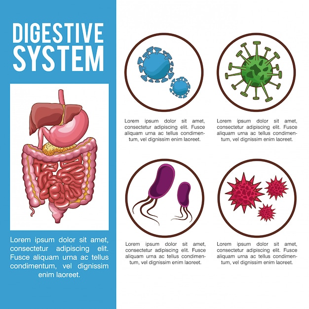 Digestive System Infographic With Information Vector Premium Download