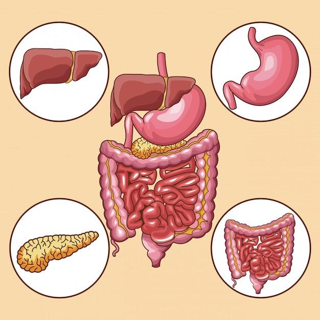 Digestive system organs round icons Premium Vector