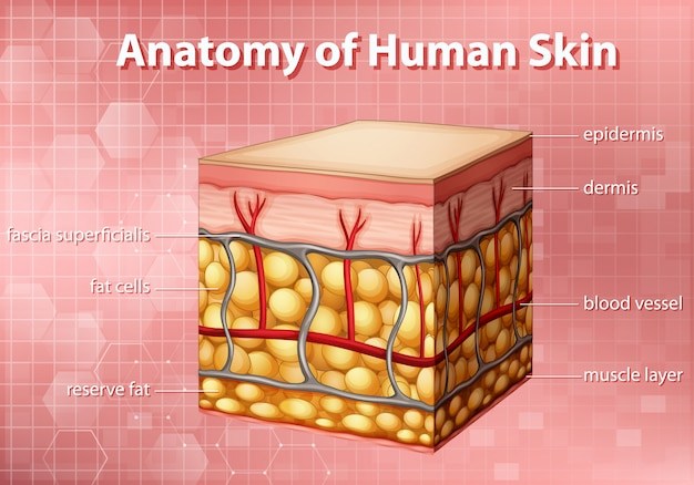 Digram showing anatomy of human skin on pink background Free Vector