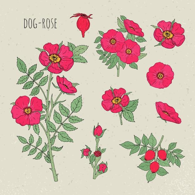 Иллюстрация шиповника медицинская ботаническая изолированная. растение, цветы, фрукты, листья, рисованной набор. старинный эскиз красочный. Premium векторы