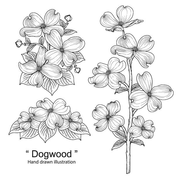 Dogwood flower drawings illustrations Premium Vector