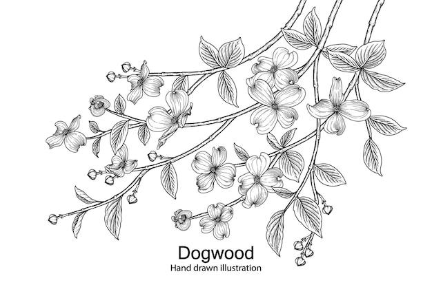 ハナミズキの花手描きの植物画。 無料ベクター