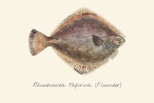 Drawing of a flounder fish | Premium Vector