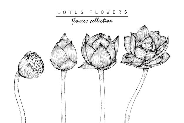 Drawing Lotus Flowers Vector Premium Download