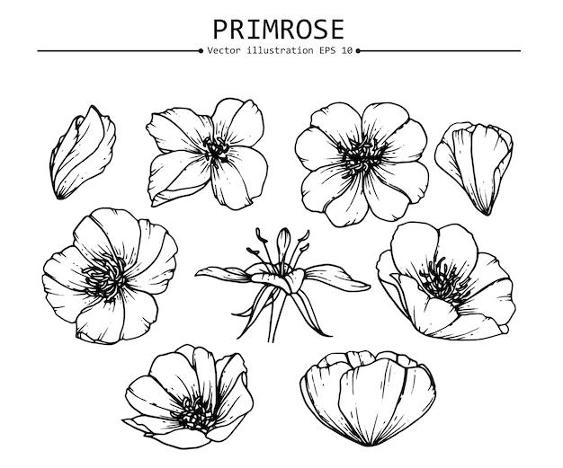 Drawing primrose flowers Vector | Premium Download