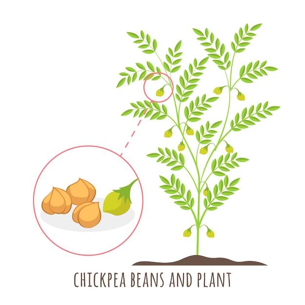 Fagioli di ceci disegnati con l'illustrazione della pianta Vettore gratuito
