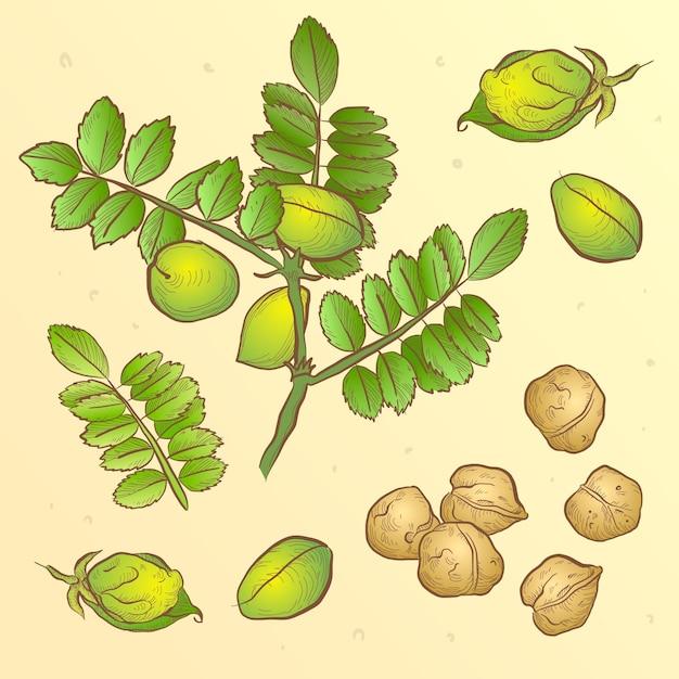 Fagioli di ceci nutritivi disegnati e illustrazione della pianta Vettore gratuito