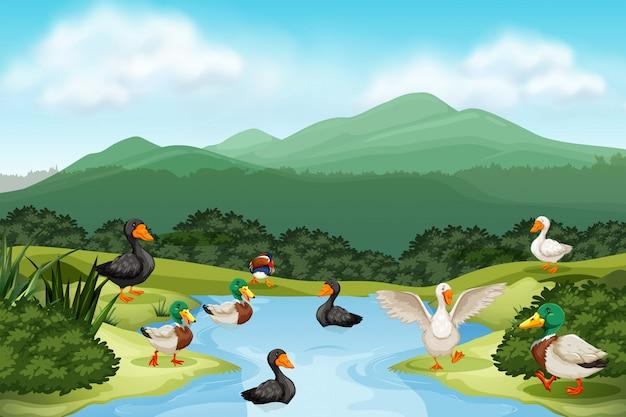 Ducks in pond scene Premium Vector
