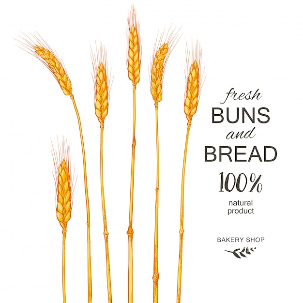 Ears of wheat. cereals harvest, agriculture, organic farming Premium Vector