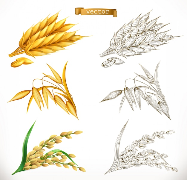 Ears of wheat, oats, rice. 3d realism and engraving styles.  illustration Premium Vector