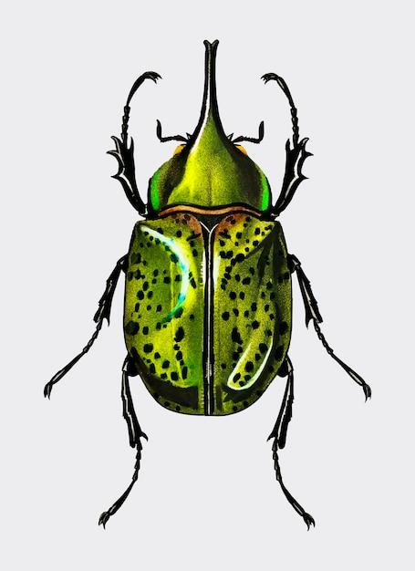 Восточный жук жук (scarabaeus hyllus) Бесплатные векторы