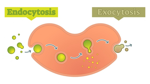 Endocytosis And Exocytosis How Cell Transports Molecules Diagram