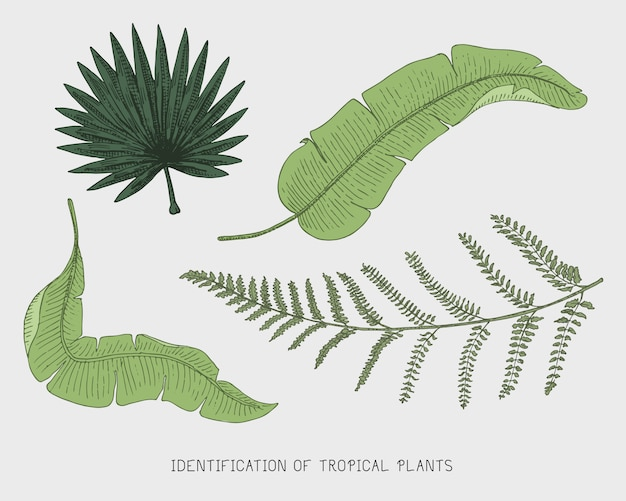Engraved, hand drawn tropical or exotic leaves , leaf of different vintage looking plants. monstera and fern, palm with banana botany set Premium Vector