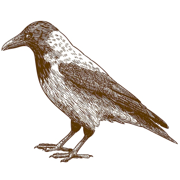 Engraving drawing illustration of crow Premium Vector