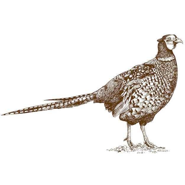 Engraving drawing of pheasant Premium Vector