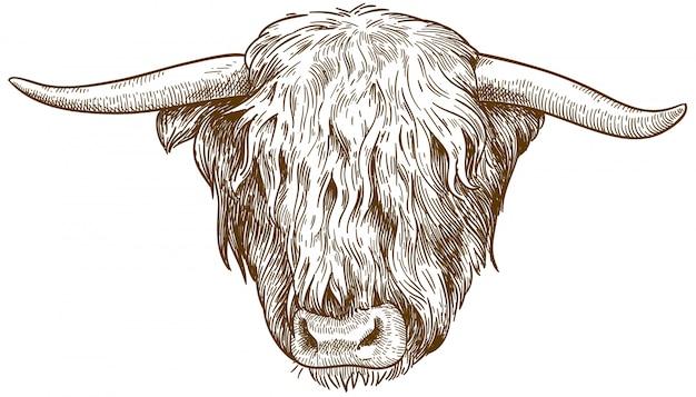 ハイランド牛の頭のイラストを彫刻 Premiumベクター