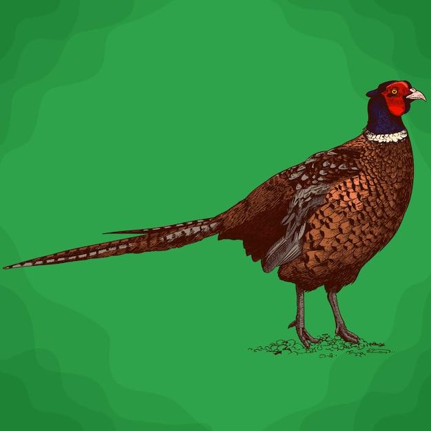 Engraving illustration of pheasant Premium Vector