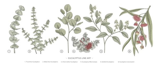 Eucalyptus branch drawings. Premium Vector