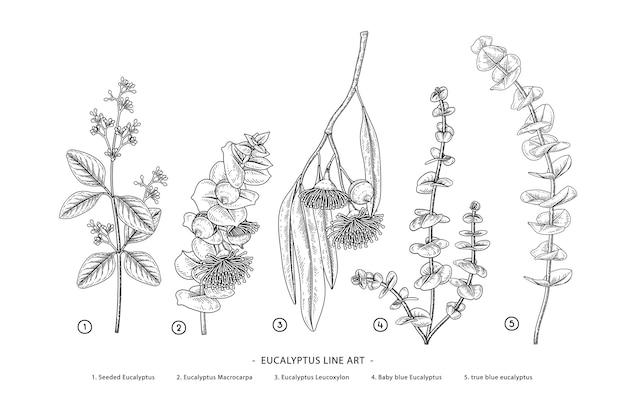 Eucalyptus branch hand drawn botanical drawings. Premium Vector