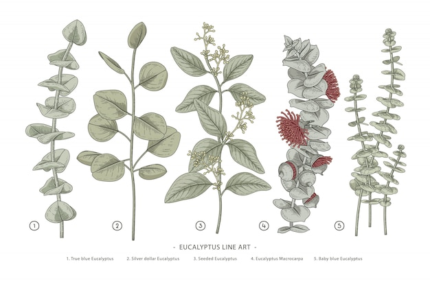 Eucalyptus branch hand drawn botanical illustrations Premium Vector