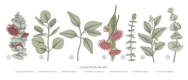 Eucalyptus branch hand drawn botanical illustrations. Premium Vector
