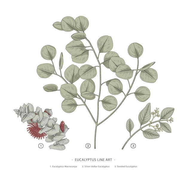 Eucalyptus branch hand drawn botanical illustrations. Premium Vector