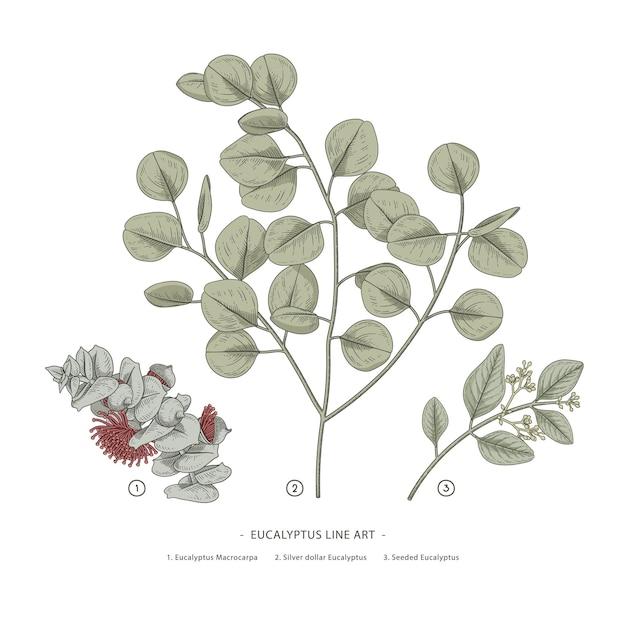 Эвкалипт филиал рисованной ботанические иллюстрации. Premium векторы