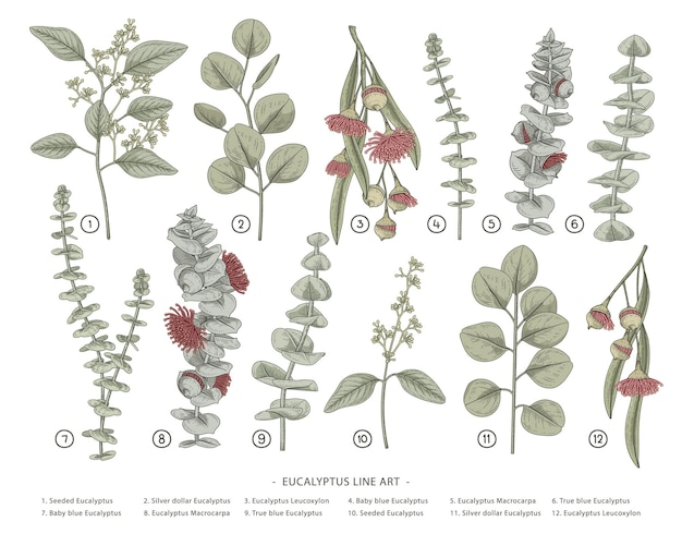 Eucalyptus branch hand drawn botanical illustrations Free Vector