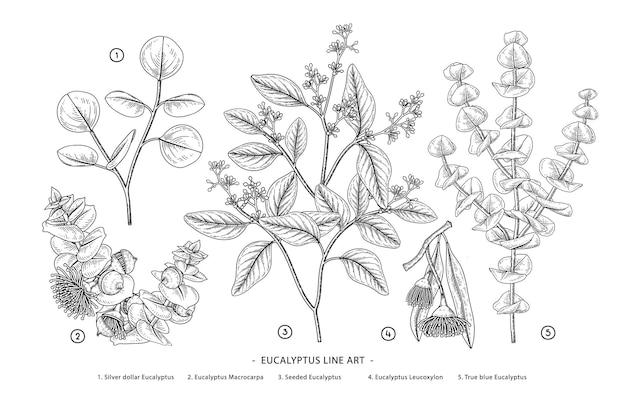 유칼립투스 지점 손으로 그린 식물 삽화. 무료 벡터