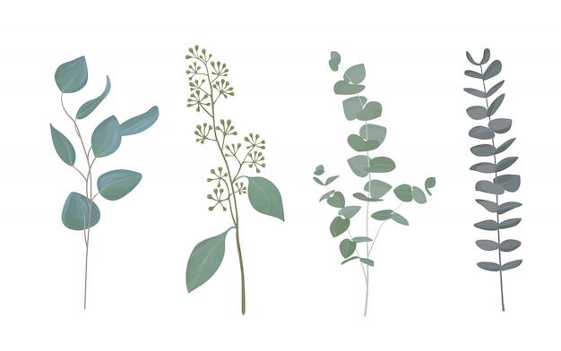 Eucalyptus leaf collection Premium Vector
