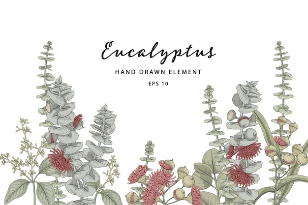 Eucalyptus plant botanical hand drawn illustration Premium Vector