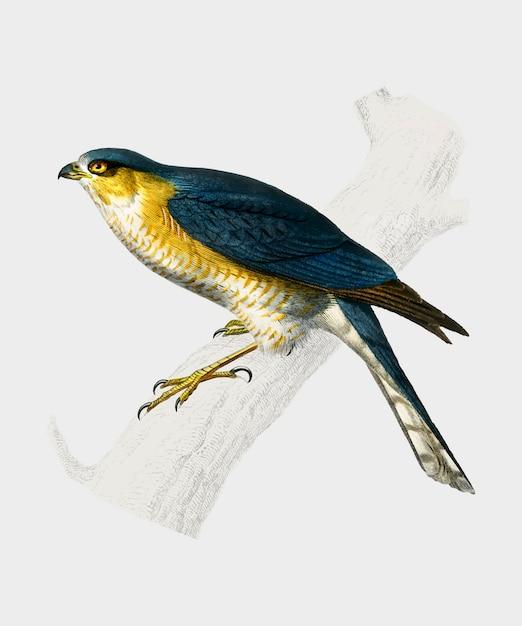 Eurasian sparrowhawk (accipiter nisus) illustrated by charles dessalines d'orbigny (1806-1876) Free Vector