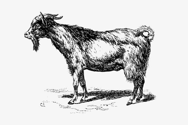 Farm goat animal drawing Free Vector