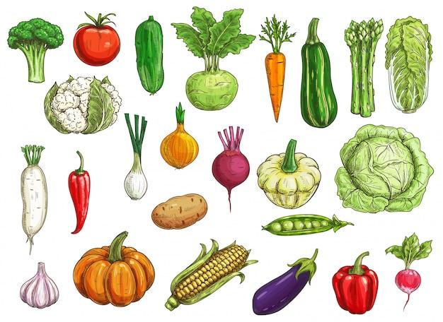 Эскизы фермерских овощей Premium векторы
