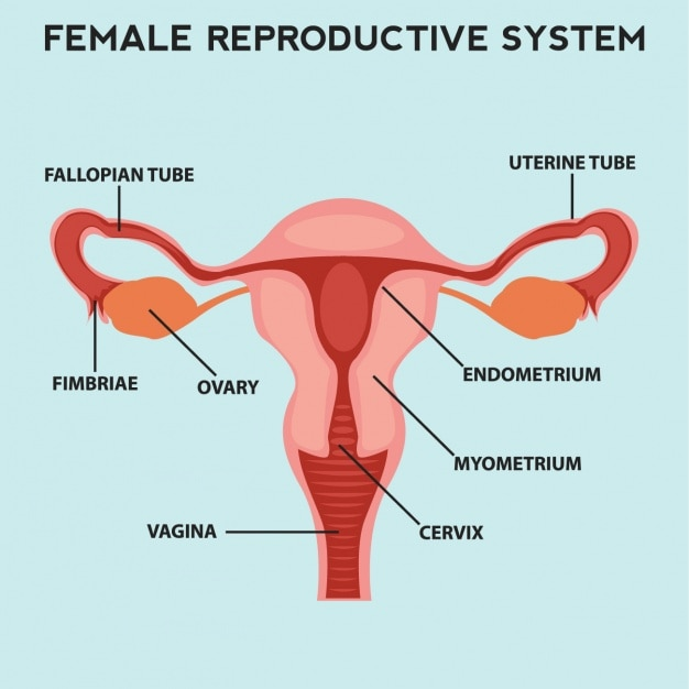 female reproductive system vector | free download, Human Body