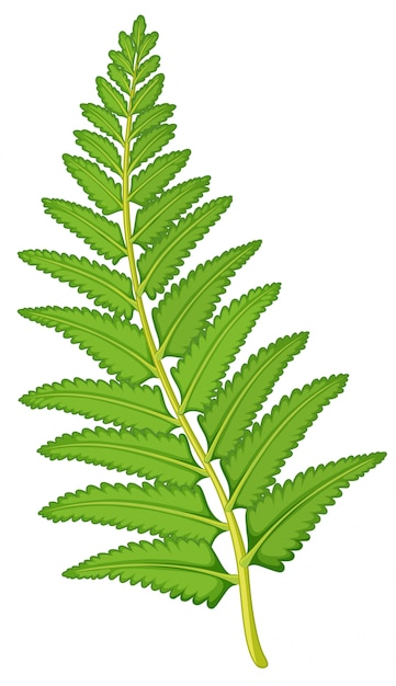 Fern leaf on white background Free Vector