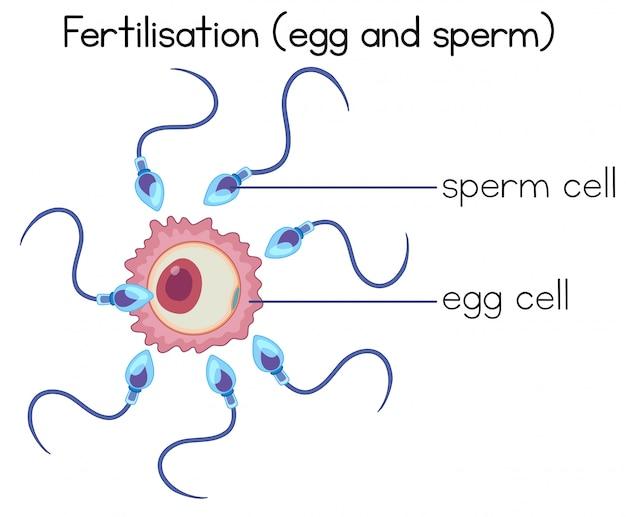 Fertilisation of egg and sperm diagram Premium Vector