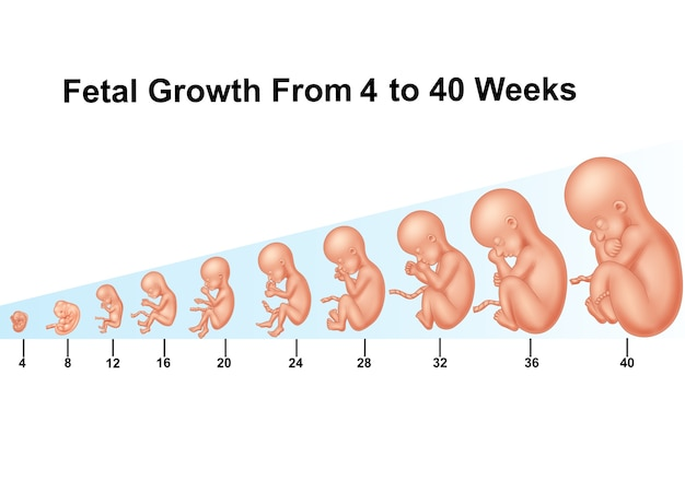 Fetal growth from 4 to 40 weeks Premium Vector