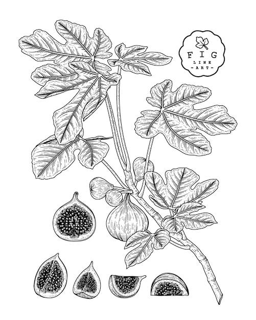 Рисунки плодов инжира. Premium векторы