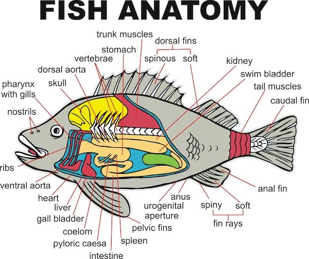 Fish Anatomy Vector Illustration Vector Premium Download