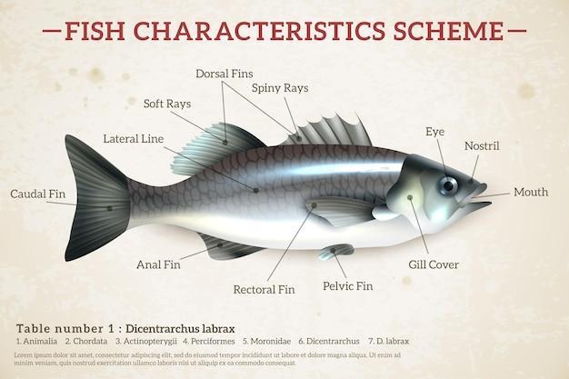 Схема рыбной инфографики с глянцевым сибасом и надписями на старой бумаге Бесплатные векторы