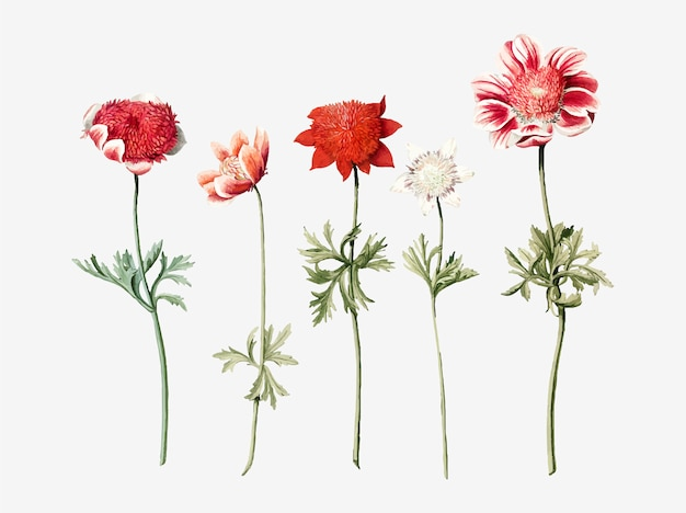 Five studies of anemones by an anonymous artist Free Vector