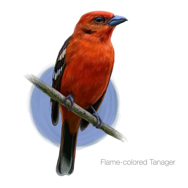 Flame colored tanager detailed illustration Premium Vector
