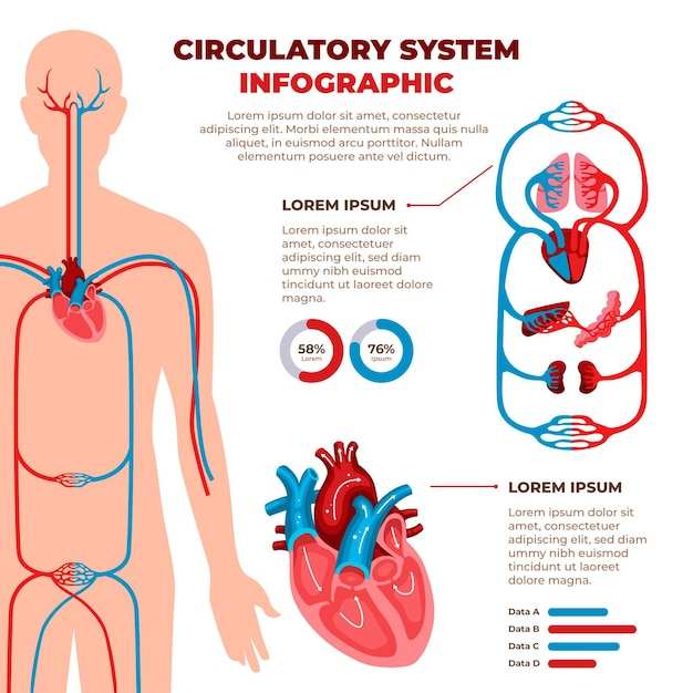 Flat circulatory system infographic Free Vector