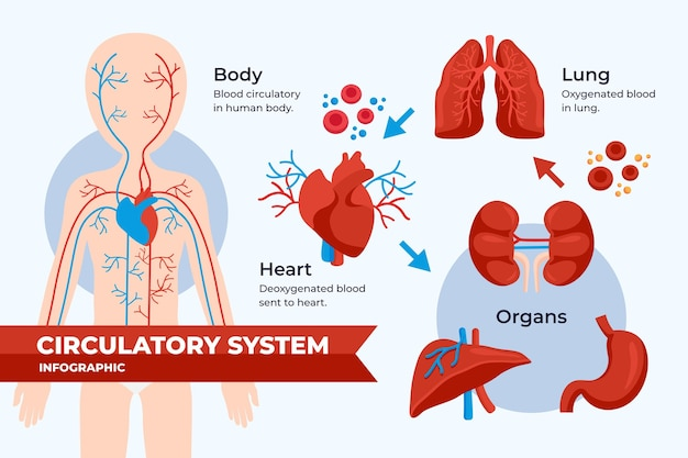 Flat design circulatory system infographic Free Vector