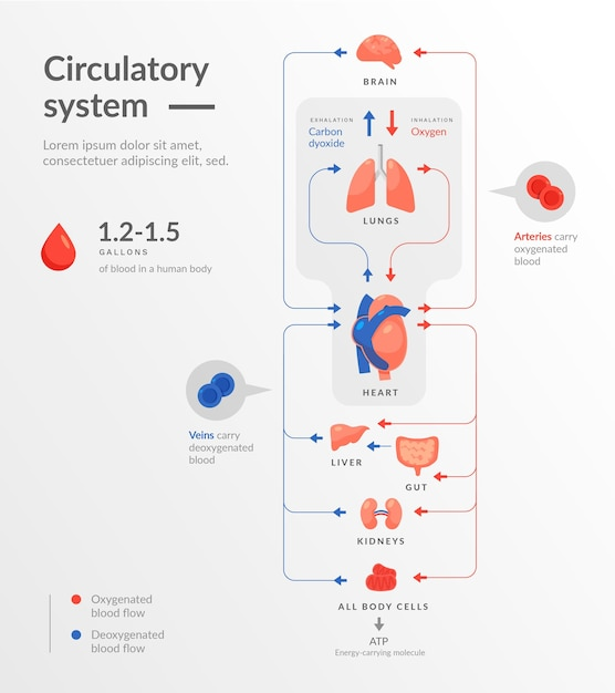 Плоский дизайн инфографики системы кровообращения Premium векторы