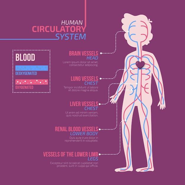 Flat design circulatory system infographic Premium Vector
